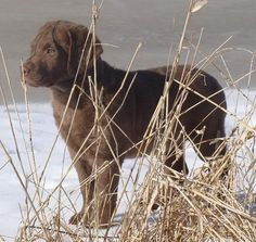 Amazing instincts; Chesapeake Bay Retriever pup.