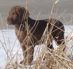 Chesapeake Bay Retriever pup.
