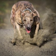 Greyhound running. Thankfully Asher always goes around me <3