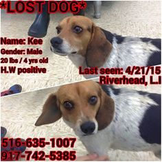 MISSING........Please be on the lookout if you live in the Suffolk county Long Island area. A newly adopted dog named Kee went missing. He is not familiar with the area. Please call the numbers below if you see him. Thank you