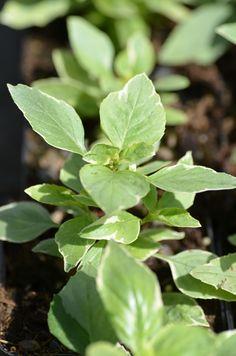 Ocimum basilicum 'Variegata' bazalka pravá