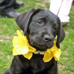 Daffy Puppy, Daffodil Festival