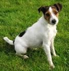 Jack Russell Terrier. Breed as a ratting dog, their tails are docked for working purposes. A full tail would risk injury in the confined space of an animal burrow. Lively and intelligent, these  little guys often grace the silver screen
