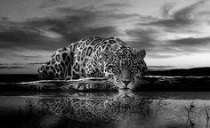 Felin red by Ponthieu Tree Hd Wallpaper, Iphone Wallpaper Cat, Tier Wallpaper, Dark Wallpaper, Jaguar Wallpaper, Leopard Wallpaper, Animal Wallpaper, Jaguar Pictures, Panther Pictures