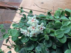 Gekocht als picta, maar als bloem lijkt het meer op een Hoya serpens