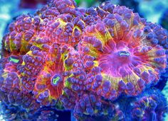 Orange Crush Blastomussa coral
