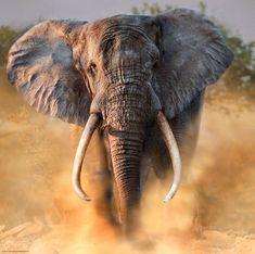 Elefanten gehen irgendwie immer. Das ist ein neues 1000er von Heye.