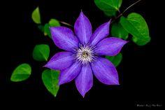 Clematis florida by Shuji Horikiri on 500px