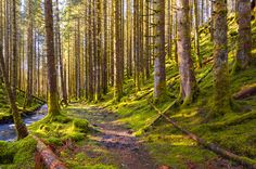 Forest Trail - A trail going through the mossy forest. Forest Trail, Forest Path, Magic Forest, Tree Mushrooms, Land Use, Old Trees, Walk In The Woods, Pictures To Paint, Pathways