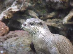Otter at Fuerteventura