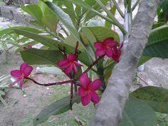 Sara said plantas e cactos - jasmim encarnado, perfumado.