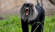 Macaque !!
