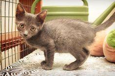 Quigley is an adoptable Domestic Short Hair searching for a forever family near Corsicana, TX. Use Petfinder to find adoptable pets in your area.