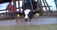 The dairy industry is hell on earth for cows. Here are 10 horrible things the dairy industry doesn't want you to Cows suffer from painful Evolution, Mercy For Animals, Factory Farming, Plant Based Milk, Stop Animal Cruelty, Media Images, Animal Rights, Undercover, Farm Life