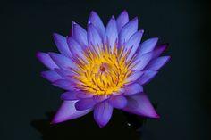 The subtle colors of a purple lotus flower. Water Flowers, Lotus Flowers, Night Blooming Flowers, Cactus Flower, Flower Tattoos, Lily, Watercolor Koi, Purple, Snails