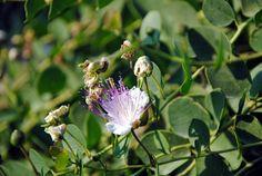 fiore della pianta del cappero #gliaromiscicli