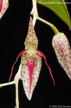 Pleurothallis lanceolata - Orchid Forum by The Orchid Source