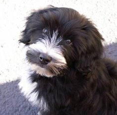 My Tibetan Terrier as a puppy - Pebbles!