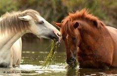 Salt River Wild Horses -by Laurie Walker. Beautiful horses in the river eating grass. Did they get that from overflowed riverbank?