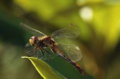 https://flic.kr/p/x49QTo | Common Dragonfly (Shrewsbury, Massachusetts) | Common Darner Dragonfly
