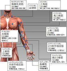 各部筋肉の名称(上半身):前側