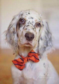 English Setter puppy in a bow tie. Pet portrait. Photography. Pouka Art Photography. www.pouka.com