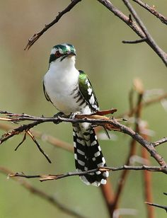 Diederik cuckoo, Chrysococcyx caprius, at Pilanesberg Nati… | Flickr