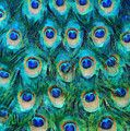 Shop for peacock art and designs from the world's greatest living artists. All peacock art ships within 48 hours and includes a 30-day money-back guarantee.