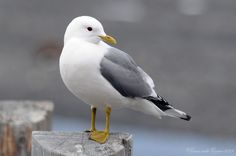 Denali Park Seagull by habataku (Photo) | Weather Underground