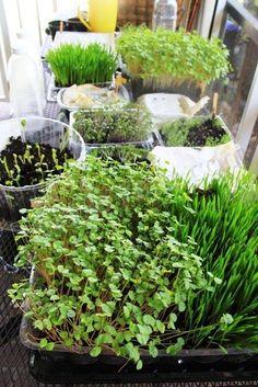 Little Garden, Microgreens: Part I (and II) ---- children growing microgreens. Love this idea! Little Gardens, Small Gardens, Outdoor Gardens, Raised Gardens, Modern Gardens, Mini Gardens, Gardening For Beginners, Gardening Tips, Indoor Gardening