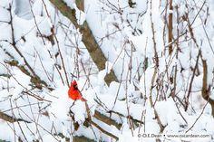 cardinal by O.E. Dean