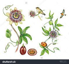 Flor do maracuja - Paraty