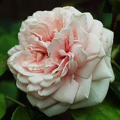 Rosa wichuraiana 'Awakening' | Zon 5. Storblommig klätterros med långvarig blomning, god härdighet, behaglig doft och ett vackert och frisk bladverk. Stora, tätt fyllda, ljusrosa blommor. Fin apelsin- och citrondoft. Remonterande. Skuggtålig. En hybrid av 'New Dawn' men mörkare rosa och mer fylld. 4 x 3 m.