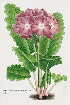 1845 Van Houtte Antique Flower Prints Blue Poppy, Iris, Lily, Pansy, Crocus