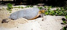 Ponte d'une tortue . Photos de tournage du prochain film de Beachcomber . Photo-shooting of the new Beachcomber film . By Brice Charue . Sainte Anne Island #Seychelles