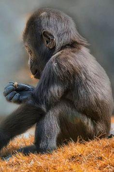 Baby gorilla taste testing edible flowers.
