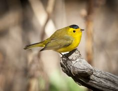 Wilson's Warbler posing in the warmth of the morning sun!