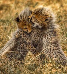 Two cheetah cubs at play in the Kenyan bush (OC) Big Animals, Funny Animals, Beautiful Cats, Animals Beautiful, Baby Cats, Cats And Kittens, Big Cat Family, Baby Cheetahs, Cheetah Cubs