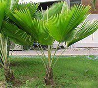 Fiji Fan Palm Tree Pritchardia Pacifica Palm Trees Palm Tree