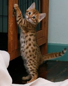 Bengal Kitten. Oh my gosh!! This is the only type of cat I'd actually want!