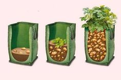 How to Grow Potatoes in Containers – Abdessamad Aouad - Modern
