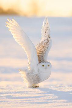 Snowy owl by Maxime Legare-Vezina
