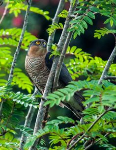 Sparrowhawk -- wrongly blamed for the decline in small bird numbers, wildlife in Ireland Amphibians, Reptiles, Mammals, Small Birds, Pet Birds, Beautiful Moments, Beautiful Birds, Sparrowhawk, House Sparrow