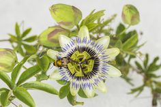 Growing Passion Flowers (Passiflora)