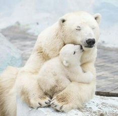 Polar Bear Cubs - in other news, Arctic temps reach above freezing during winter. Polar Bear Cubs - in other news, Arctic temps reach above freezing during winter. Baby Animals Pictures, Cute Baby Animals, Funny Animals, Nature Animals, Animals And Pets, Wild Animals, Safari Animals, Baby Polar Bears, Baby Pandas