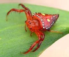 (Arkys lancearius) - triangular spider
