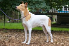 <3 beautiful Smooth Collie