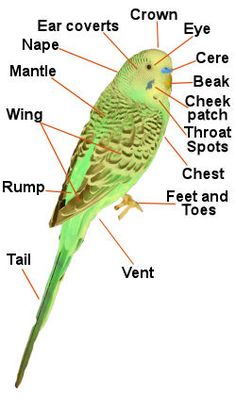 Parakeet colors are white, black, and almost every color of the rainbow. (Inside the pin, you learn how budgies are from Australia. Parakeet Colors, Parakeet Care, Budgie Parakeet, Cockatiel, Budgies, Parrots, Blue Parakeet, Cute Birds, Pretty Birds