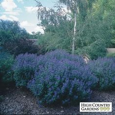 Blue Caryopteris clandonensis Dark Knight, Caryopteris clandonensis Dark Knight, Blue Mist Spirea Dark Knight. Great xeric plant, attracts butterflies and bees.