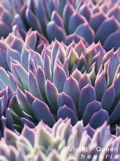 One of the best succulents... gorgeous coloring & very easy to grow (you would think the coloring was Photoshopped or painted). Violet Queen is one of our favorites for weddings.